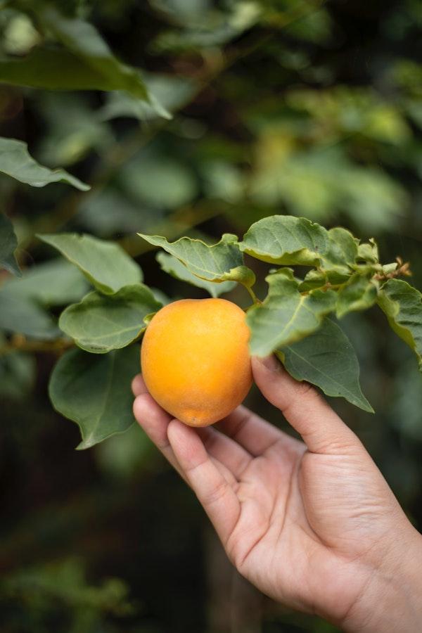 Corso di potatura degli alberi da frutto
