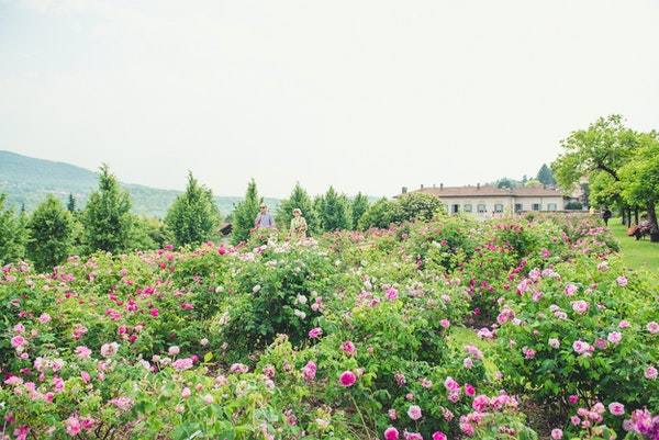 Rose in fiore a Villa Bozzolo